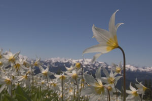 Unmodified image of avalanche lilies