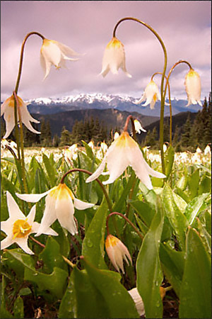 Up close and personal with avalanche lilies