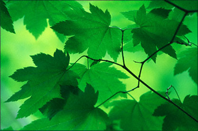 Light filtering through green leaves