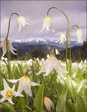 Avalance lilies in the Olympic Mountains